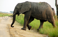Elephant electrocuted in Queen Elizabeth National Park