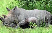 Uganda's white rhino population climbs to 20