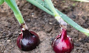 Onion 350x210