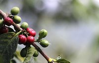 Cabinet approves national coffee policy