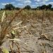 Drought hits Zimbabwe farmers