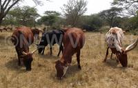 Lyantonde struggles to control animal diseases