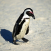 South Africa court drops case against penguin thieves