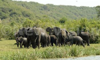 Elephants5 350x210