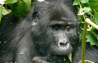 Another Bwindi gorilla dies