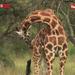 Uganda boasts of a huge number of giraffes