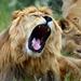 Elderly Kenyan mauled by lion in Nairobi rush hour