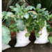 Grow vegetables in sacks the right way