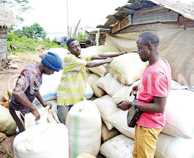 ealers packing unprocessed rice at anyu landing site on uyovu sland in alangala district on uesday last week