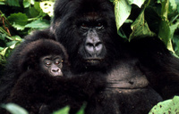 Mountain gorilla produces twins near Uganda's border