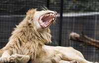Zookeeper mauled by lions at Australian zoo