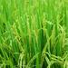 How to grow rice in Uganda