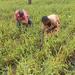 Chinese millet storms Uganda