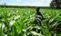 Uganda risk losing indigenous crops, scientists warn