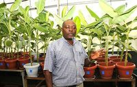 Kawanda develops wilt resistant banana varieties