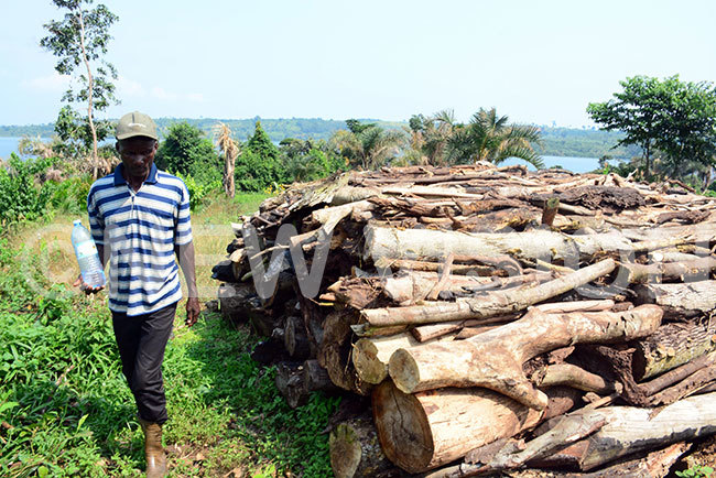 resident walks past logs that have been piled for charcoal burning