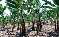 'Climate change threatens African crops'