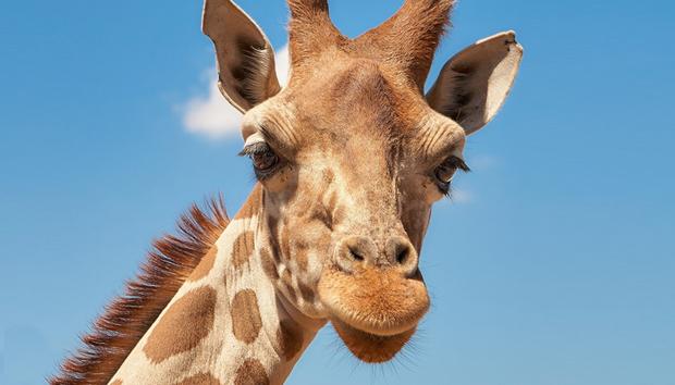 giraffeanimalafricadevtool100737245orig