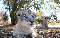 First ever lions to be conceived artificially