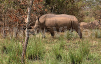 Dung heaps are rhinos' Facebook - study