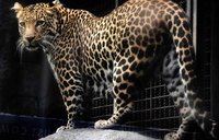 Leopard on the loose in Indian car factory