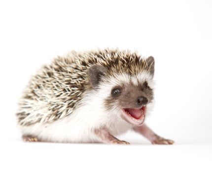 Hedgehog, please renew my passport
