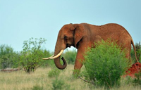 Belgian tourist trampled to death by elephant in Kenya