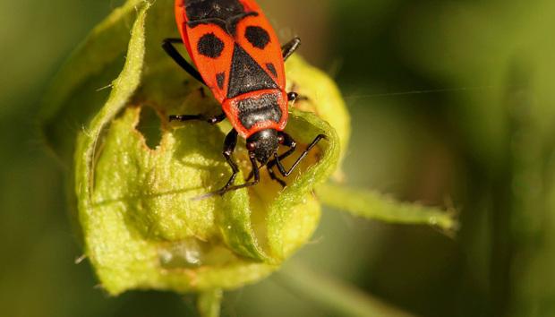 beetlefirebug100739926orig