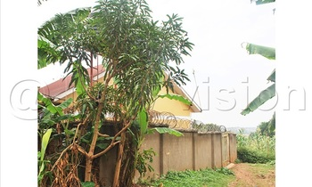 A mango tree planted near a house 350x210