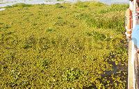 ''Nankabirwa'' weed chokes Kyoga ferry