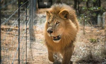 Lion 350x210