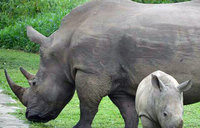 How a private firm is minting billions from Uganda's rhinos
