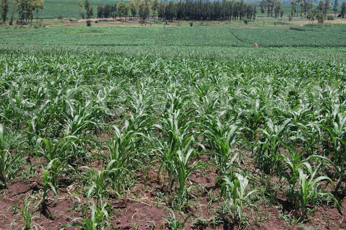 ome of the maize gardens affected by the long dry spell in wimi ub ounty abarole district hoto by ilson siimwe