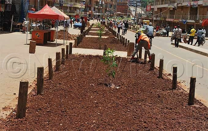 worker planting tree shades along walk ways on amirembe oad hoto by eginah alunga