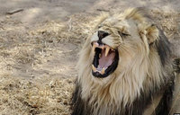 Poachers mauled to death by lions on game reserve