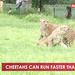Cheetahs can run faster than a car
