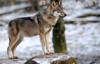Norway court grants reprieve to seven wolves