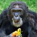 Uganda's oldest chimp Zakayo celebrates 53rdbirthday