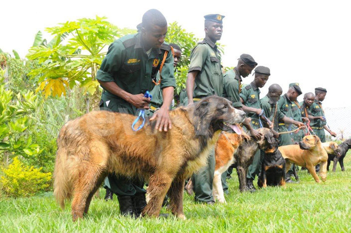 ecurity uards belonging to avannah ecurity ervices in yaliwajjala akiso take their dogs through drills ogs have been said to be the most loyal servants