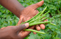 French beans: Iron at low cost