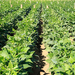 Earn sh5m from an acre of beans