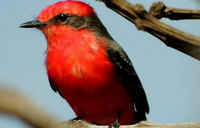 Researchers solve mystery of red color in birds