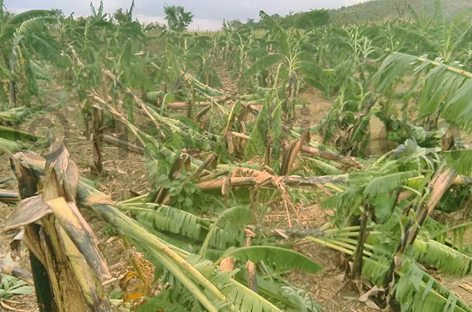 ne of the numerous banana plantations that were ravaged by the hailstorms hoto by smael asooha