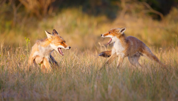 foxes-fighting