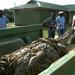 UWA transfers 600kg crocodile from Rubirizi