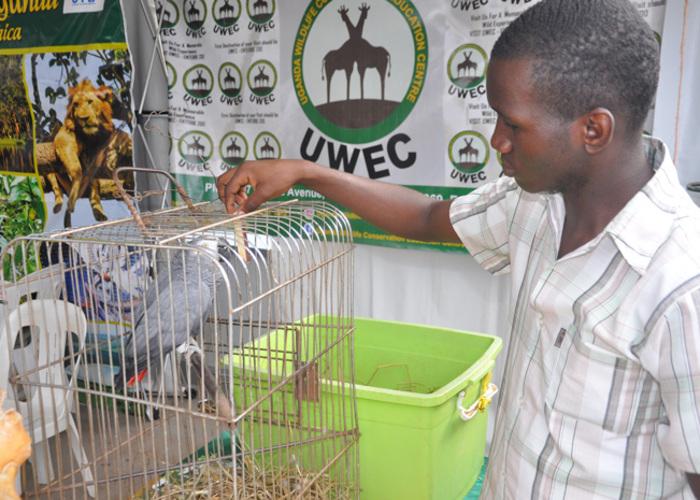 usoke feeding the frican grey parrot