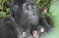 Gorillas beating deadline to produce