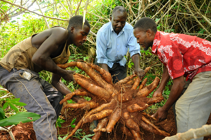 senoga has supplied over 1000 tonnes of cassava products to the market hoto by mar subuga