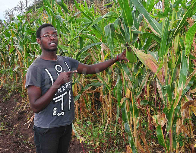 artin shows the maize he planted at the farm in akumiro
