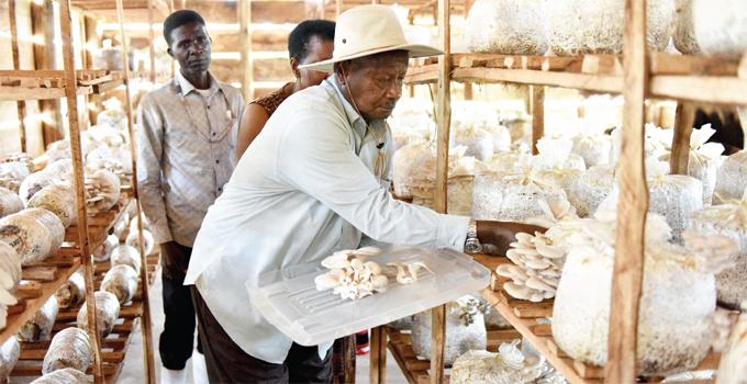 resident oweri useveni harvests mushrooms at his presidential demonstration farm at awumu in uwero district recently